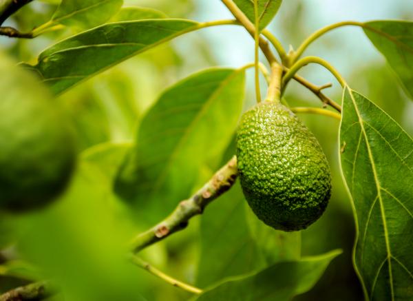 Die Avocado - Fettreiche und gesunde Frucht