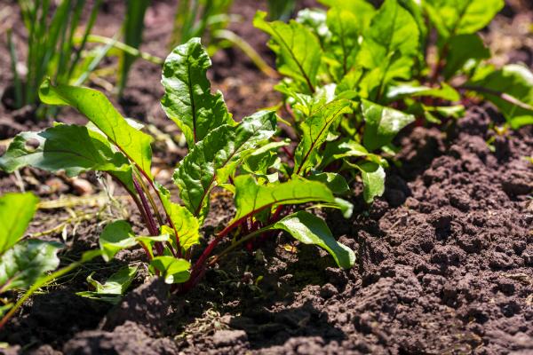 Eingepflanzte Rote Bete Knollen